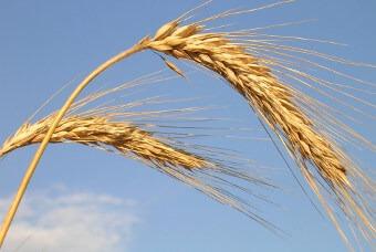 Gerbes de blé