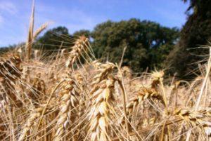 le grain semé